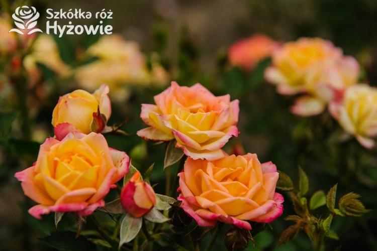 sadzonki róż ze Szkółki róż Hyżowie
